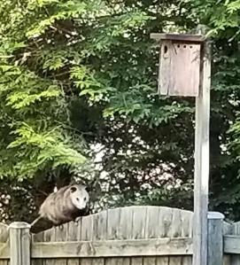 Opossum on fence